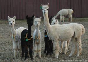 Cute Alpacas at Magical Farms